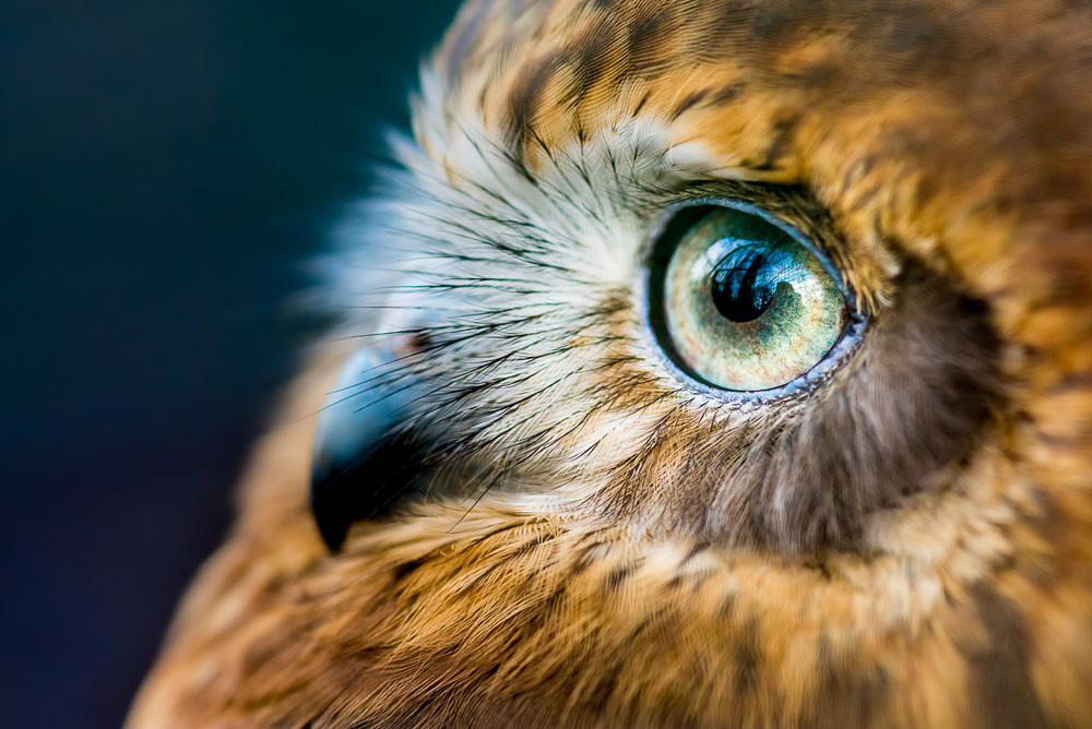 Sovka bubuk (Ninox boobook) Sovka je pták, o jehož existenci jsem až do návštěvy zoo neměl tušení. Všiml jsem si jí náhodou, když jsem procházel australskou expozici ke konci dne. Stála tiše na zemi, hned u kraje klece, a vychutnávala si poslední možnost se trochu ohřát od zapadajícího slunce. Pomalými pohyby se mě podařilo se k ní přiblížit na zhruba deset centimetrů s makroobjektivem. Její klid připisuji částečně k teplotám pod bodem mrazu, coby jedné z výhod focení v zimě. Asi je Vám jasné, že jsem jel domů doslova jako prase. Šťastné prase. Nikon D610, Sigma 105mm f/2.8 EX DG Macro, f/4, čas 1/100 sec., ISO 2000