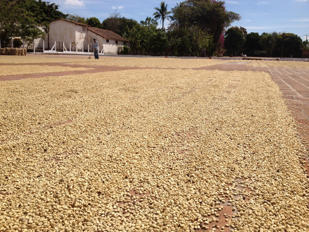 The coffee are dried on meticulously clean patios and are initially turned every 20-25 minutes to ensure uniform drying.