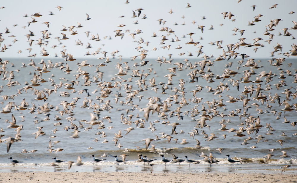 NRWF_Shorebirds_0099.JPG