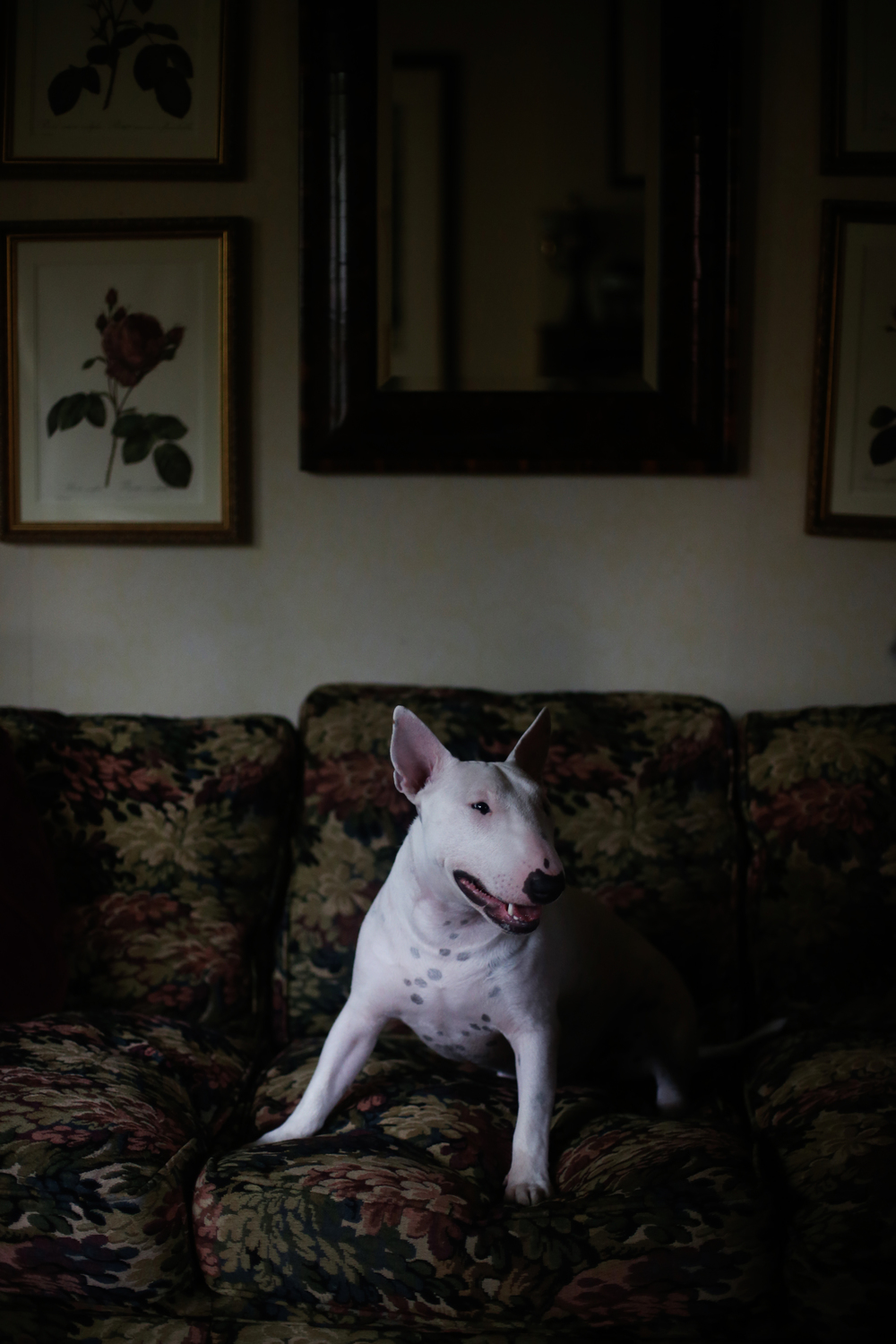 Al and Barbara Phillip's miniature bull terrier Colonel sits in their Chicago home on Friday, July 26, 2013.  Colonel was just a few months old when he was shot by a Chicago Police officer as he escaped the Phillip's front gate last December.
