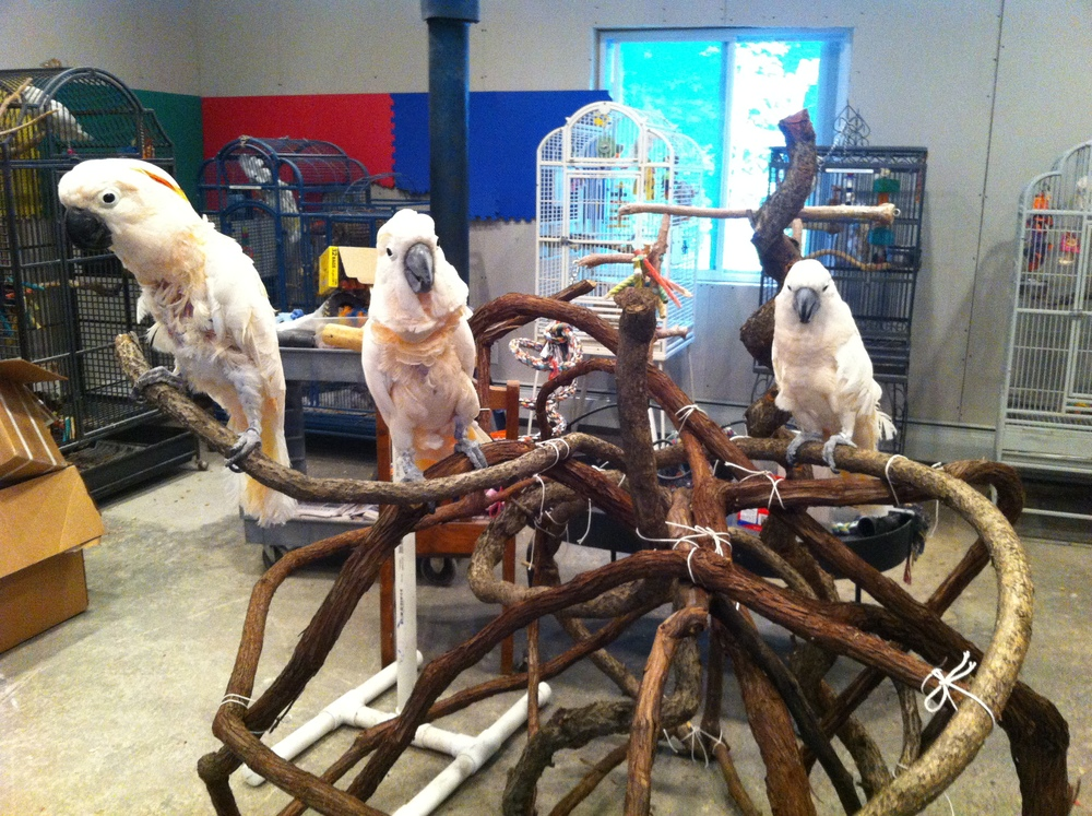 from left: Tuki, Coco & Boomer - Moluccan Cockatoos