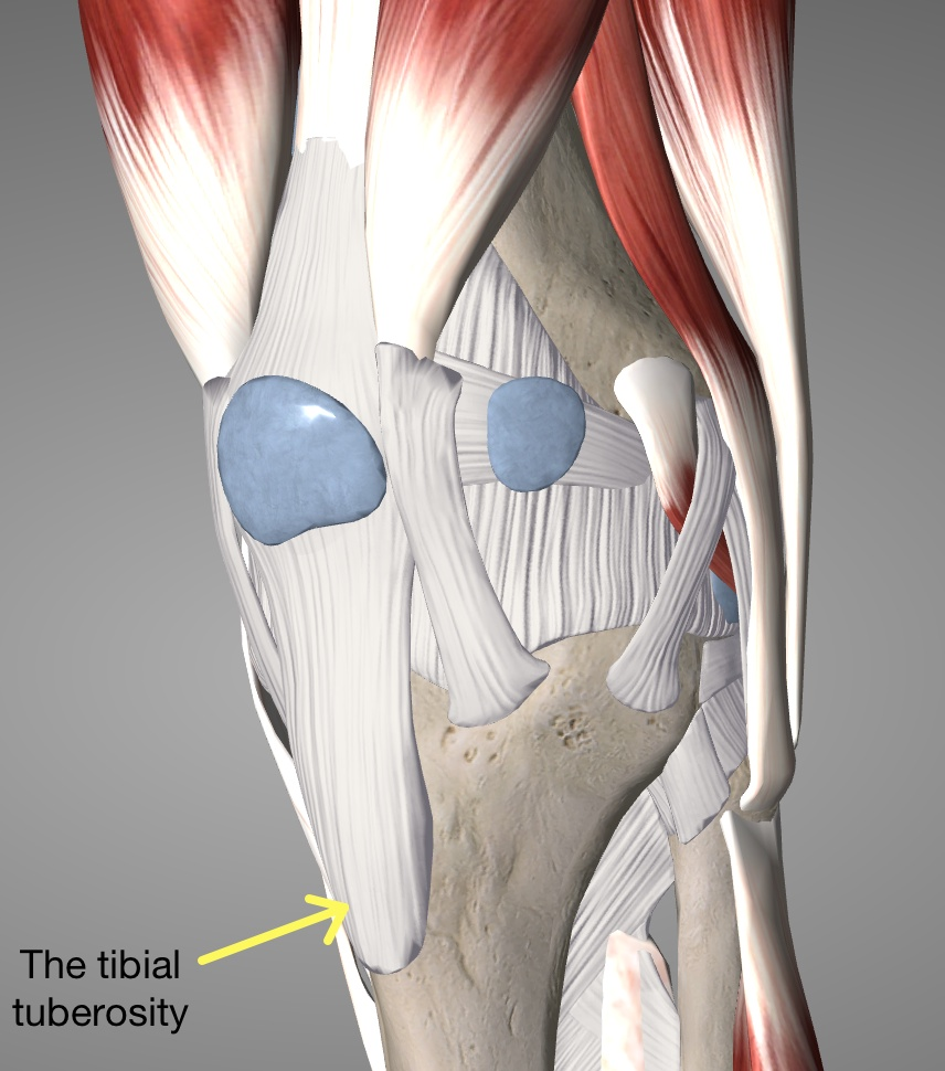 The tuberosity is actually under the tendon so imagine this arrow pointing through it.