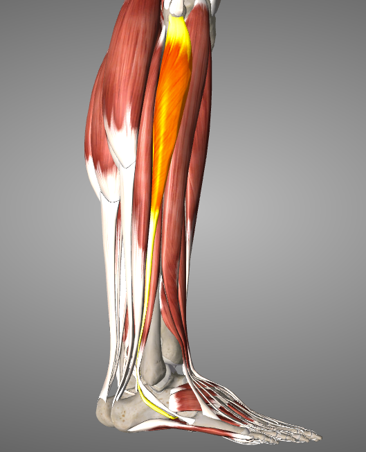 Ankle Sprain/Ankle Injury Prevention & Rehabilitation ...