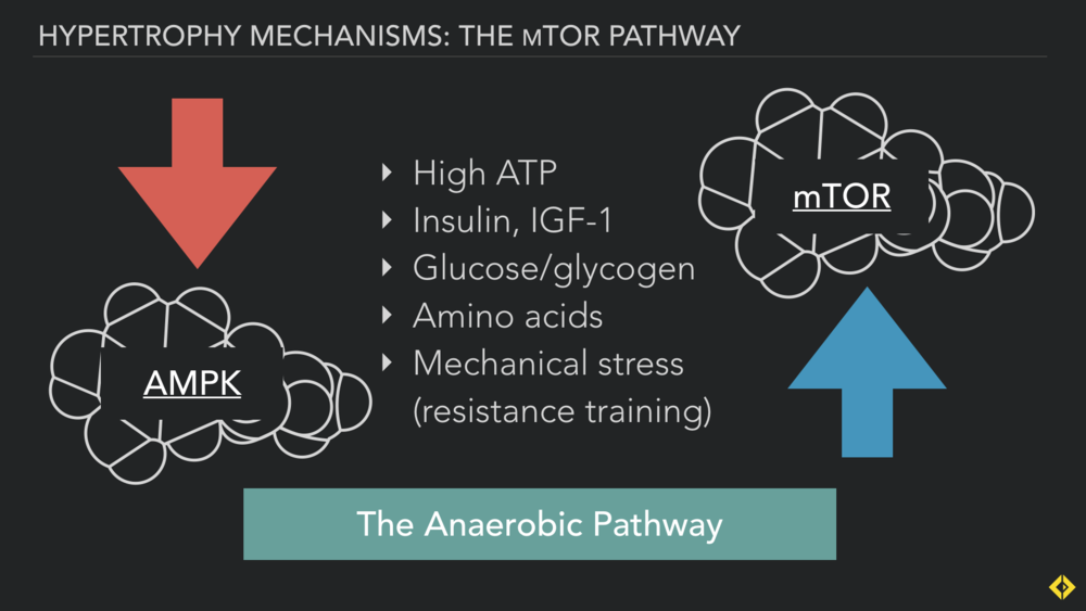 AMPK and mTOR live on competing pathways. AMPK the endurance high volume low-intensity adaptation, mTOR the strength, power and hypertrophy pathway.