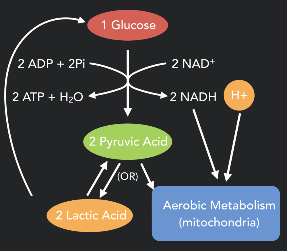 Glycolysis: The process of turning glucose and glycogen into lactic acid (without oxygen) or pyruvic acid for use by the mitochondria. Note the byproducts along the way including the 2 ATP molecules - these are the ATP we get from the anaerobic (lactic acid) energy systems. NADH is another compound that is used in the mitochondria later on for aerobic metabolism.