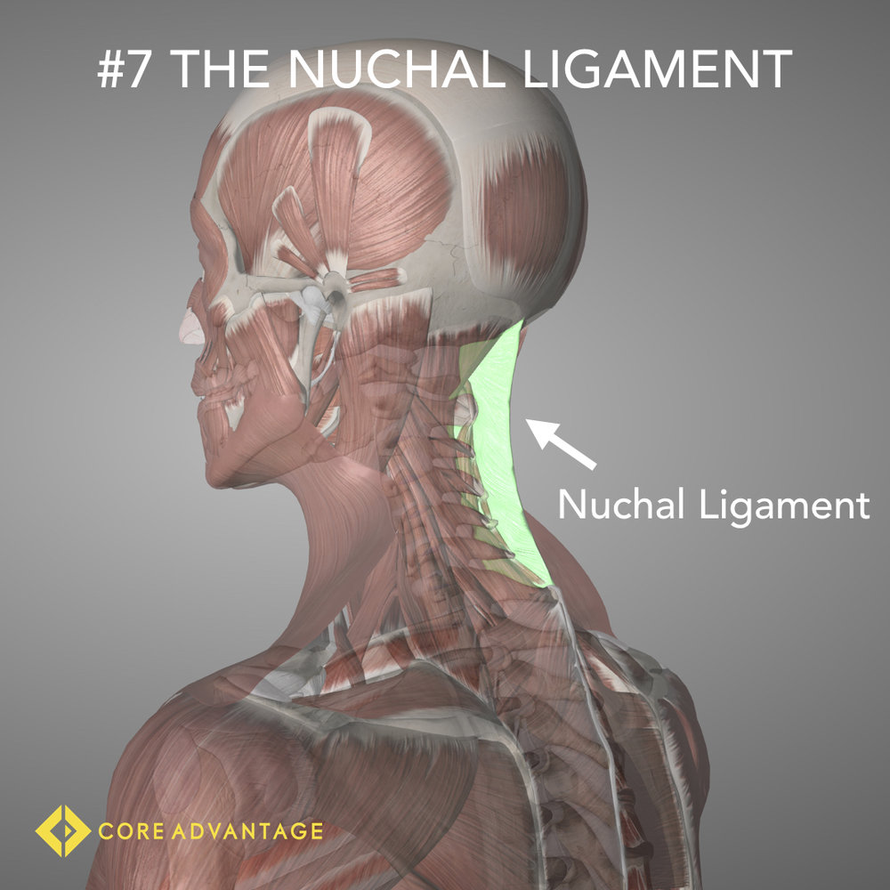 #7 The Nuchal Ligament