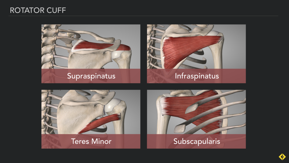 The four muscles of the rotator cuff