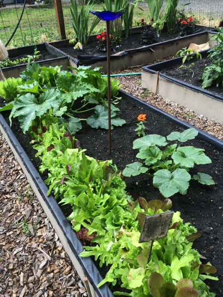 Zucchini, lettuce and zinnias.