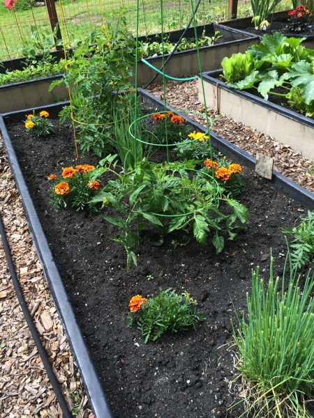 Tomatoes, marigolds, onions, chives. Yes I do my tomato cages upside down to create an obelisk.