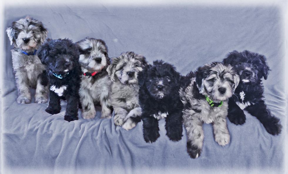 Bergamsco puppies3.jpg