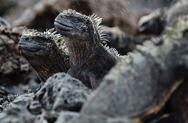 Galápagos marine iguanas on San Isabela Island, May 2015. The Galápagos Islands where the focus of Charles Darwin's On the Origin of Species, formulating the first theory of evolution. . . . . . . #travel #wanderlust #naturephotography #naturalselection #evolution #iguana #natgeo #galapagos #marine #instagood #explore #travelphotography #throwbackthursday #tbt #science
