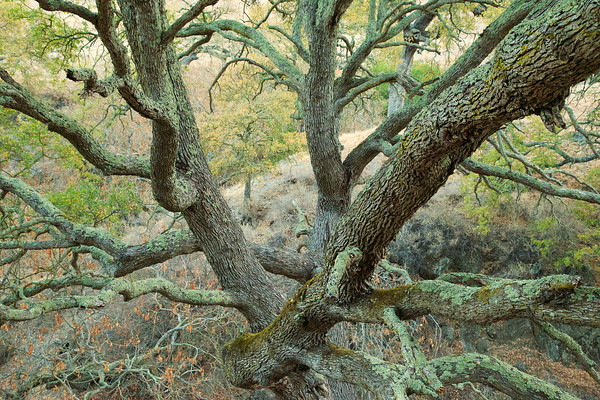 A large oak reaches out to hikers on the trail