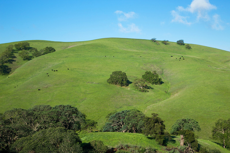 Cows graze on the rolling hills around the property.