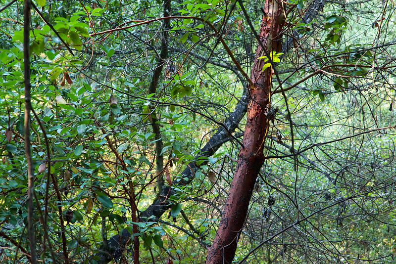 A young Madrone stands out in the forest