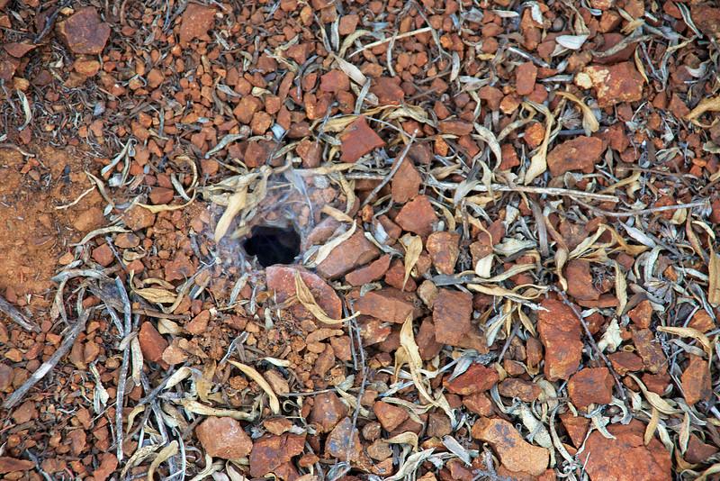 Female Tarantula burrow