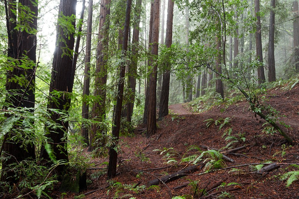 Canyon Redwoods - EB Mud Watershed