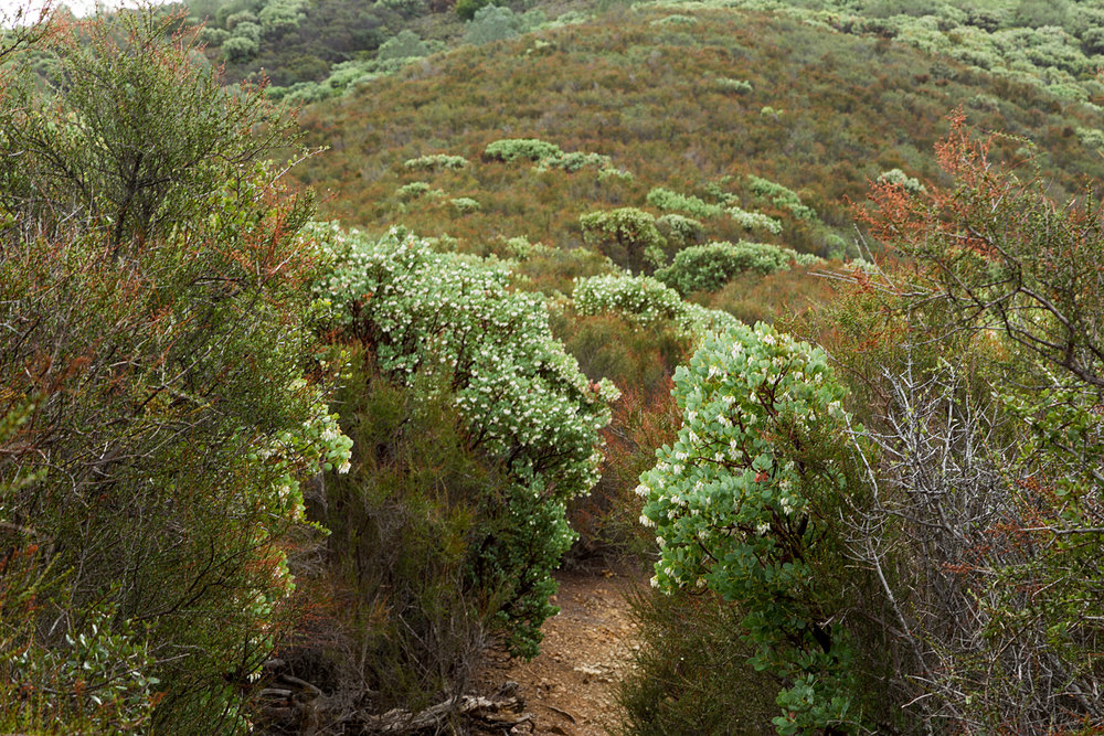 Manzanitas on the Back Creek Trail