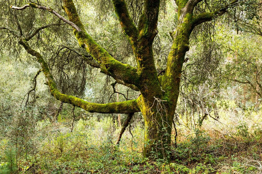 Redwood Regional Park Redwoods_-2.jpg