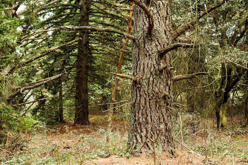 Redwood Regional Park Redwoods_-4.jpg