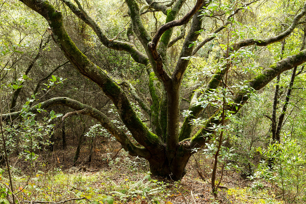 Redwood Regional Park Redwoods_-8.jpg