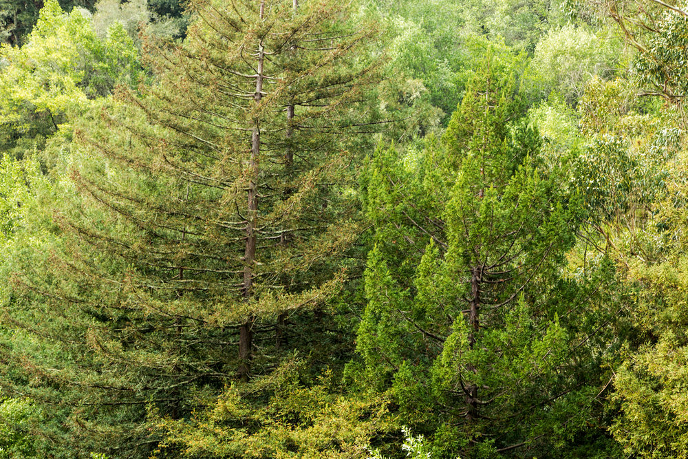 Redwood Regional Park Redwoods_-9.jpg