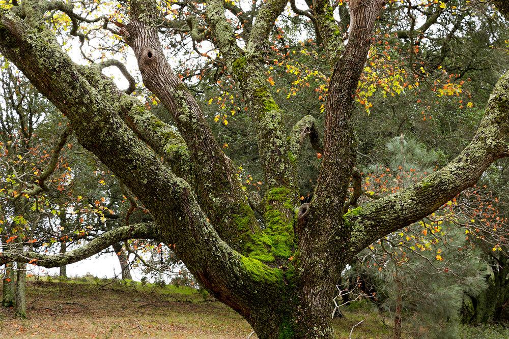 Oak at Chase Pond