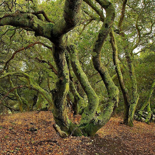 Mixed oak and bay forest in the hills along the San Pablo Reservoir. Access these trails from the Kennedy Grove Regional Recreation Area.  #treetrunk #hikingphotography #watershed #oaktrees #californiaforest #forestbathing #healingnature #contemplation #relaxingnature #naturallight #mossy