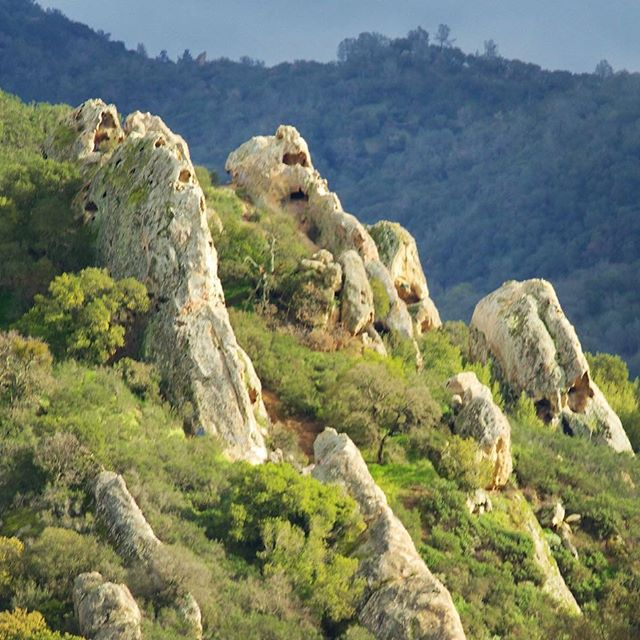 These giant sandstone boulders watch over the oak filled canyon in Diablo Foothills Regional Park. The holes are created by the mild acidity of the rain water, which breaks down the natural cement like bond in the stone.  #sandstone #boulders #oaktrees #rockformations #regionalpark #morninghike #foggy #trailgifts #castlerock #enjoynature #californiacaptures #mtdiablo