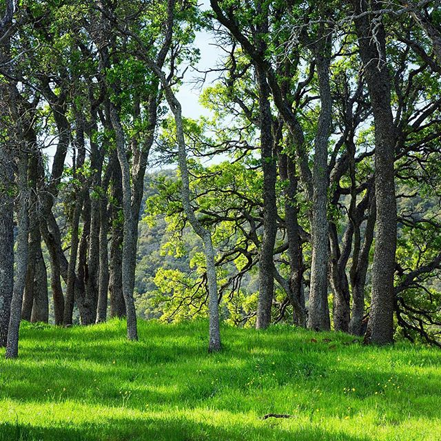 Early one spring morning, just after a heavy rain, along the Miwok Trail... #oaktrees #miwoktrail #roundvalley #sunrisehike #hikingphotography #regionalpark #sunlit #greenery #landscape_captures
