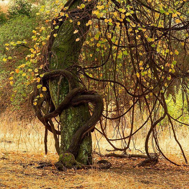 A wild grape in a perpetual embrace with an oak along the trail at Castle Rock... #oaktrees #regionalpark #morninghike #hug #fallcolors #vines #embrace #hikingphotography