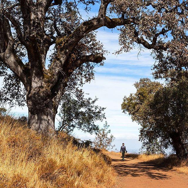 Sunny and warm fall day on Deer Flat Road... #hikingphotography #fallhiking #regionalpark #californiacaptures #oaktrees #fallcolors #grasses #goldenstate #blueskys #peopleinnature #happyinnature