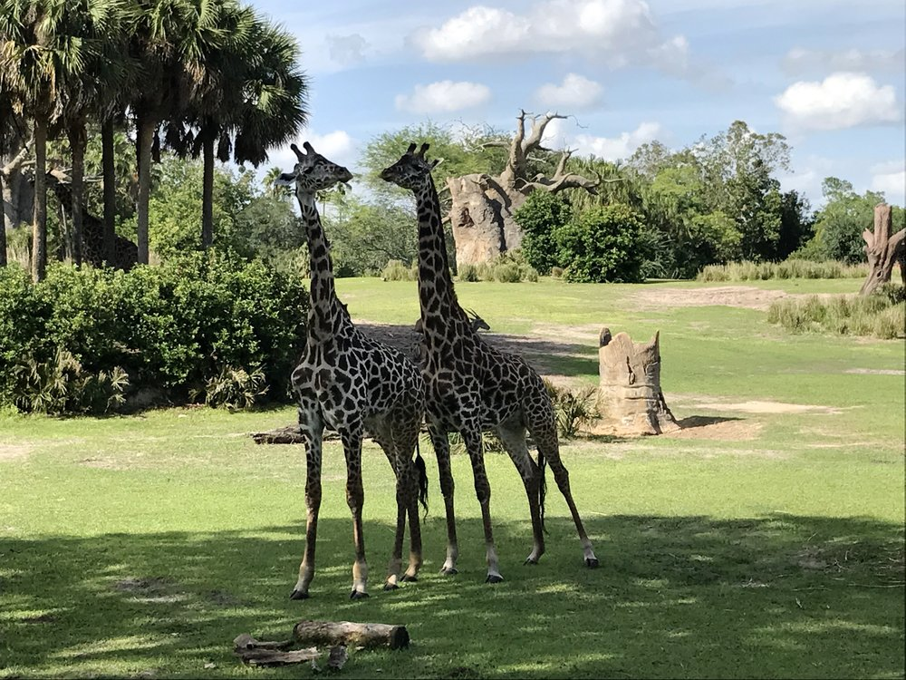 Animal-Kingdom-Safari