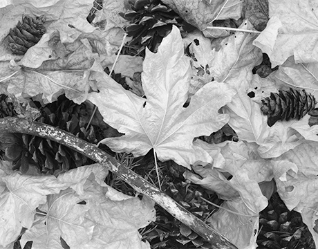 Big Leaf Maples scan.jpg