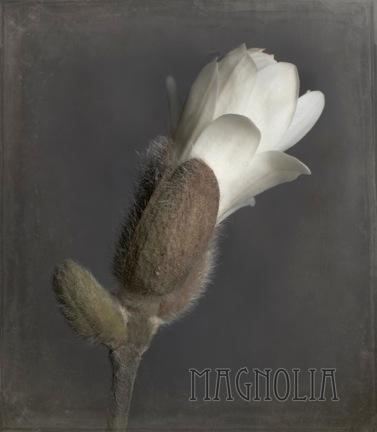magnolia bud 712 v2.jpeg