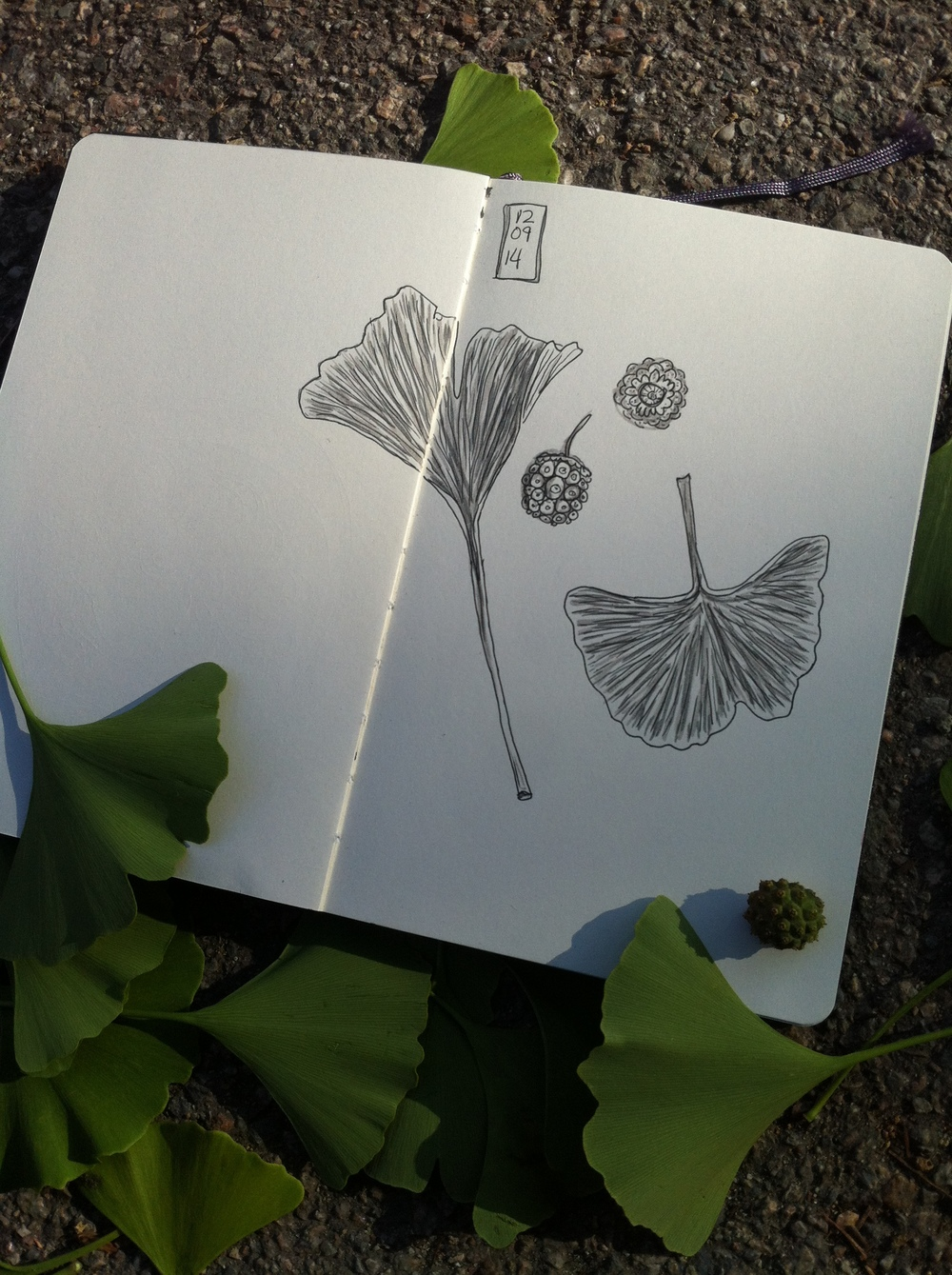 then moved on to drawing ginkgo leaves and seedpods at the school playground while my kids played