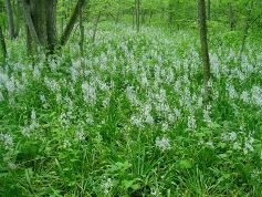 Wild Hyacinths at Ladd-Carr Wildlife Woods Photo provided by: Black Swamp Conservancy