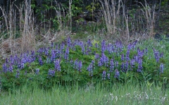 Lupine Sand Barren Photo provided by: Cleveland Museum of Natural History