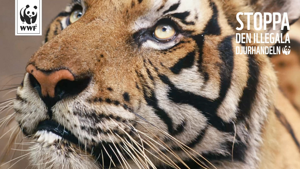 Stoppa den illegala djurhandeln Panda Planet