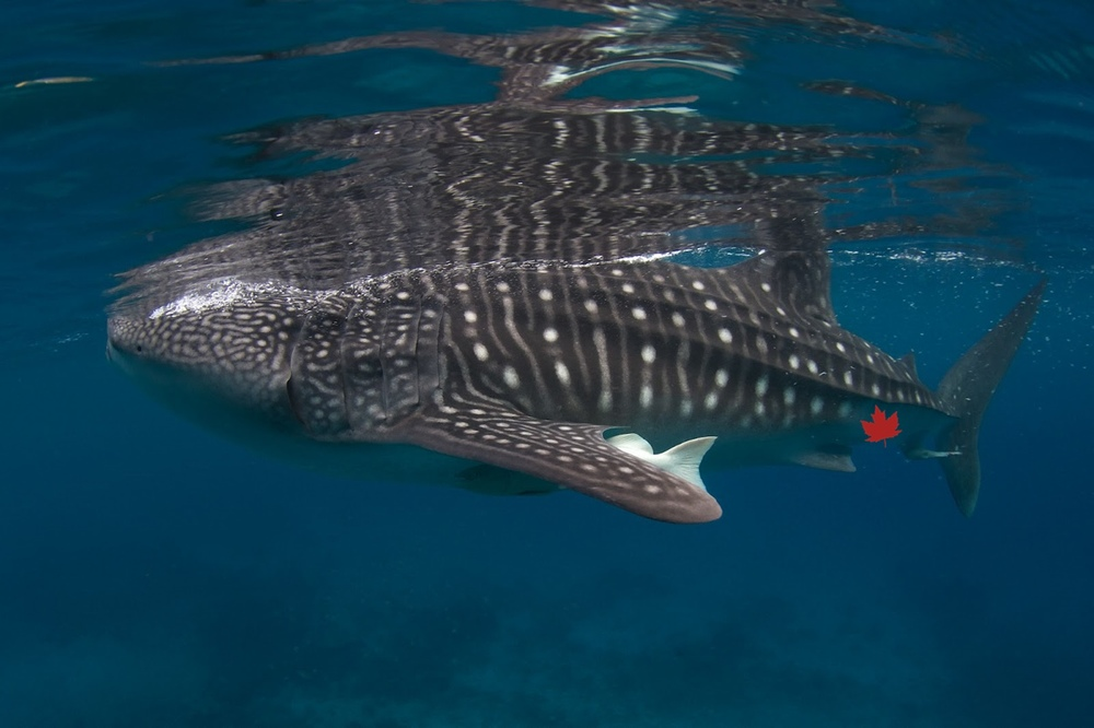 Lone recorded sighting of a whale shark, the world's largest fish, swimming in the Bay of Fundy in Canada. Photo is an approximation, so please ignore the coral and amazing water visibility. Maple leaf tattoo is unconfirmed.  Photo by Steve de Neef .