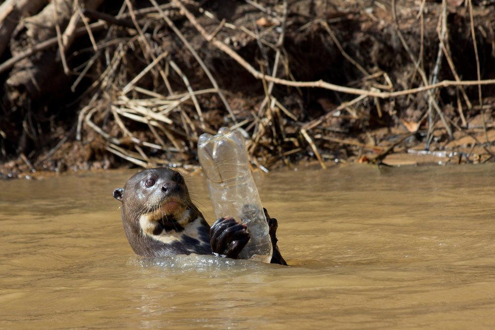 Wild Giant Otter plays with plastic bottle in the Pantanal.  Photo via flickr used under creative commons.