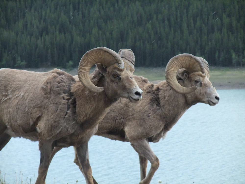 Big Horn Sheep.  Photo via  flickr  used under creative commons.