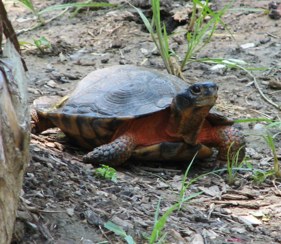 A wood turtle. Look how cute it is. (Credit Wiki Commons)