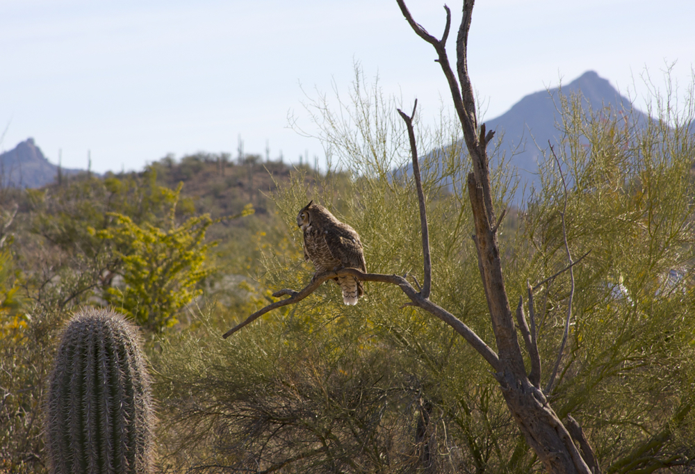 Southeastern Arizona and the Tucson Mountains are home to an incredible array of life. In this small corner of Arizona lies the densest array of birds, mammals, butterflies, and other insects of any place in the US.  Here a Great Horned Owl surveys the desert in the heart of the Tucson Mountains.