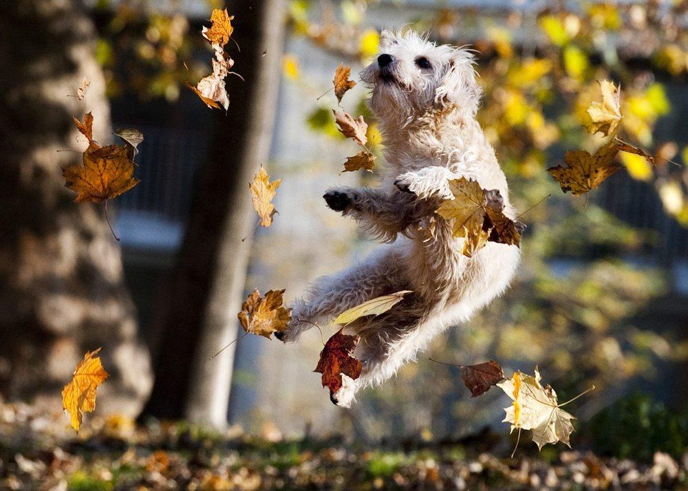 pap_20111111_0JR_jpg.jpg dog in leaves.jpg