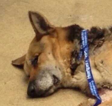 Abused and Neglected Young German Shepherd dropped at OAS May 30, 2013