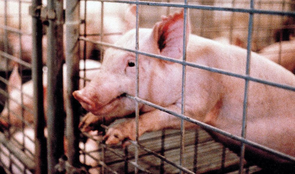 PigletBitingCagelg.jpg