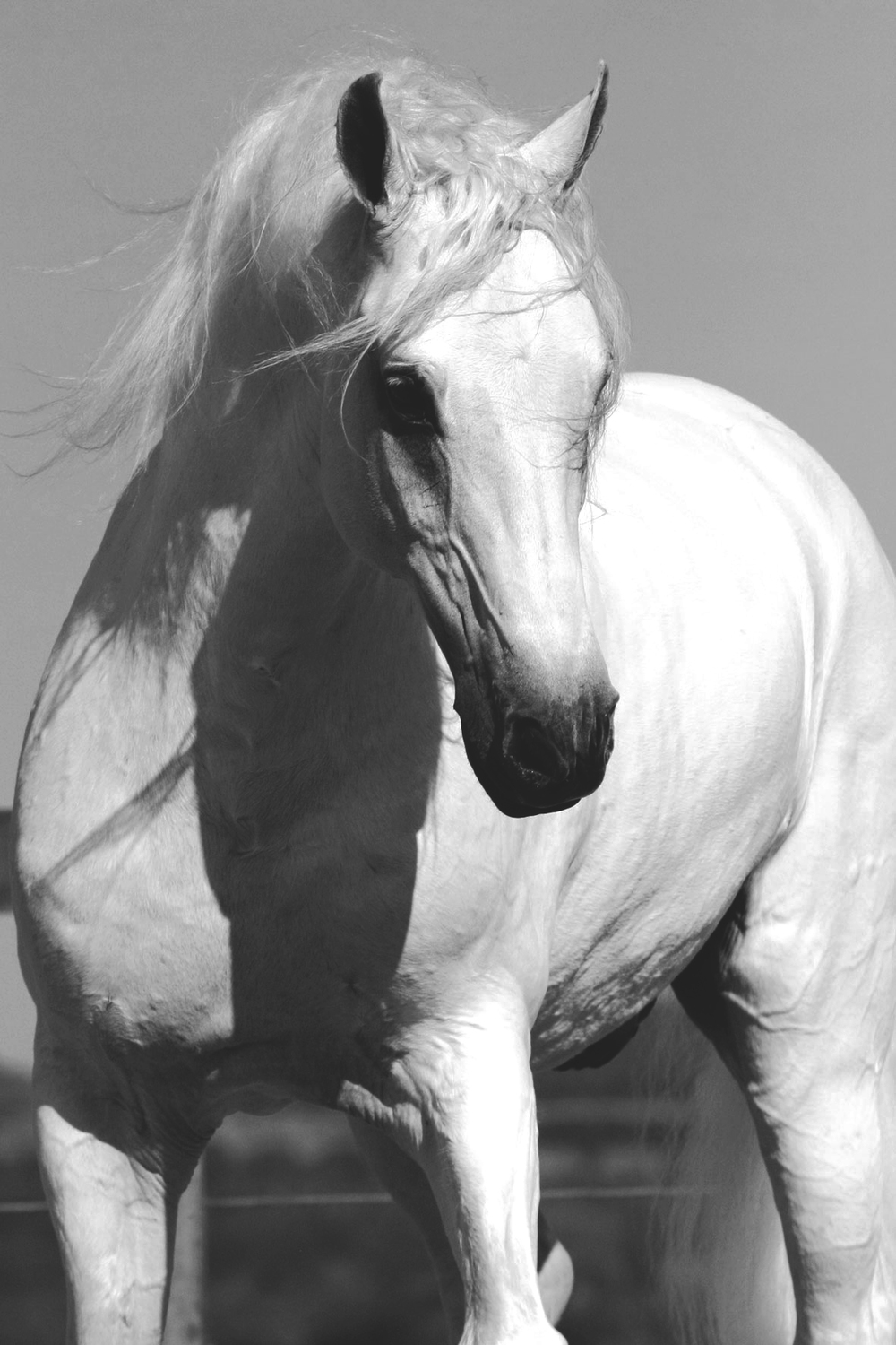 White-Stallion1 for perfect horse book cover.jpg