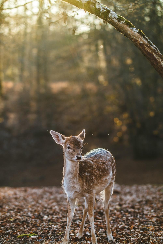 deer - Bambi