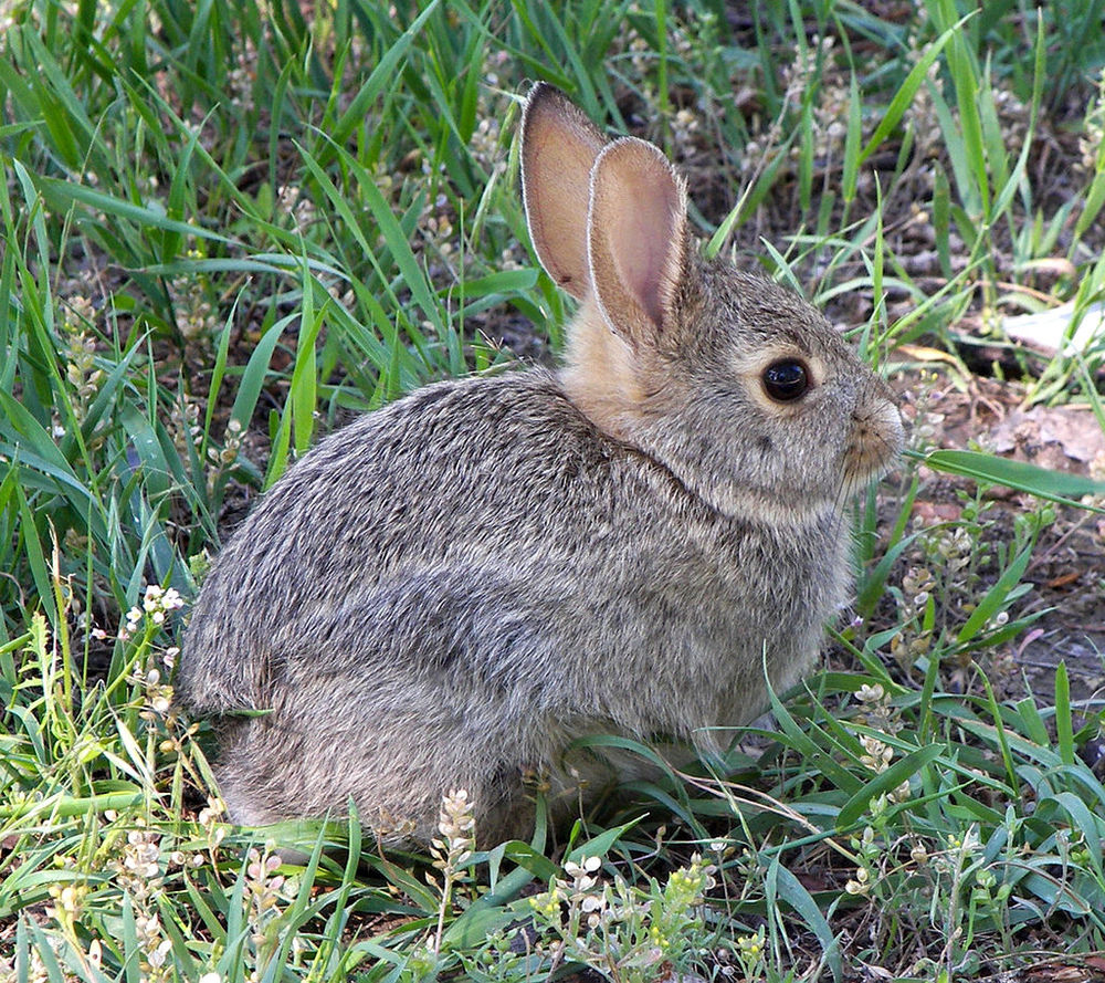 Rabbit  taken in Montana