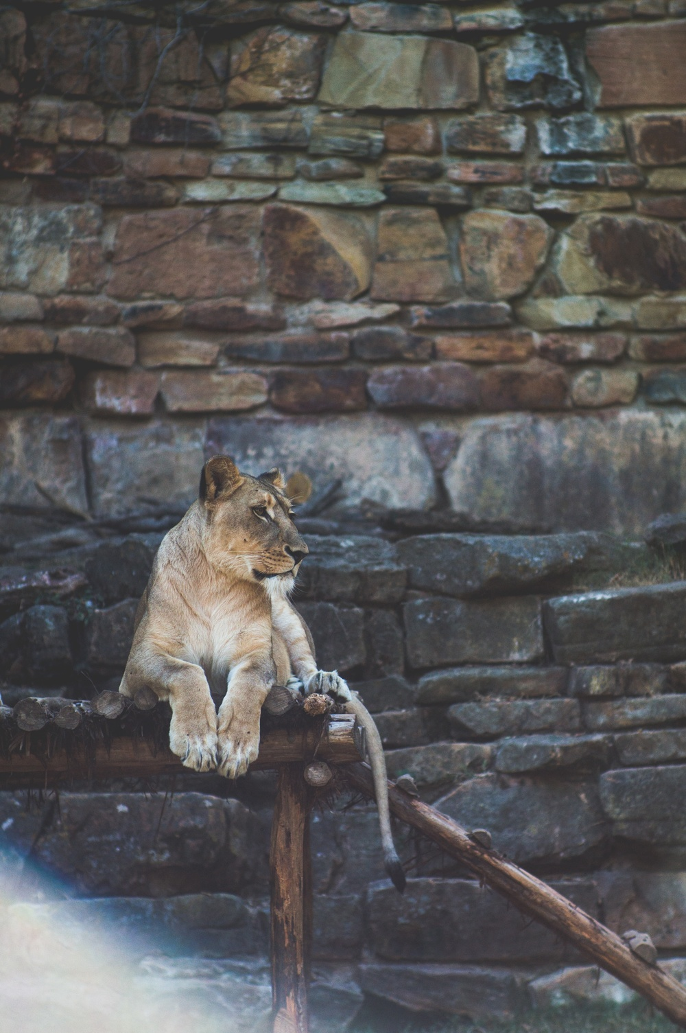 domik lange lion at Fort Worth zoo Up cL.jpeg